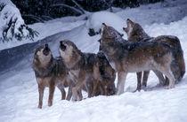 Heulende Wölfe im Schnee