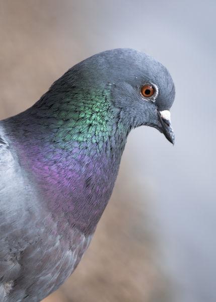 Pigeonprofile