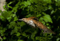 Brown Thrasher  von Douglas Graham