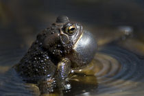 American Toad by Douglas Graham