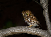 Eastern Screech Owl :: Otus asio by Douglas Graham