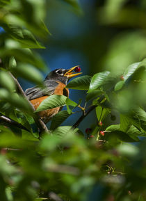 American Robin :: Turdus migratorius by Douglas Graham