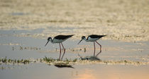 Black-Necked Stilt :: Himantopus  mexicanus by Douglas Graham