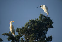 Cattle Egret :: Bubulcus ibis and Snowy Egret :: Egretta thula by Douglas Graham