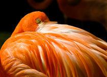 Flamingo intimidation tactics