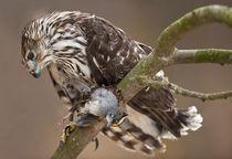 Cooper's Hawk :: Accipiter cooperii von Douglas Graham