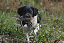 Bird Dog with Quail by Douglas Graham