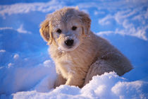 Golden Retriever Puppy in Snow by Stan  Fellerman