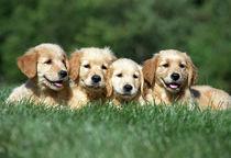 4 Golden Retriever Puppies in Grass