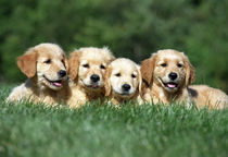 4 Golden Retriever Puppies in Grass by Stan  Fellerman