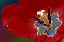 Tulip flower by Ricardo Anderson