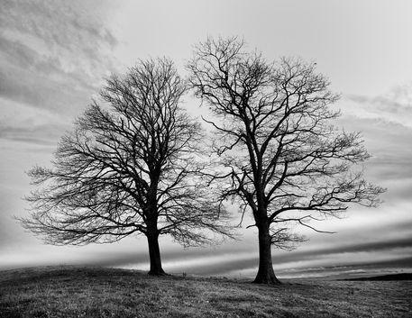 B-w-bare-oaks