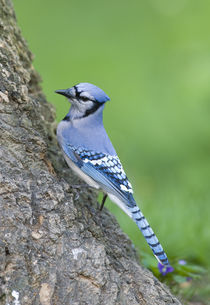 Blue Jay by Douglas Graham