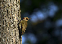 Northern Flicker von Douglas Graham