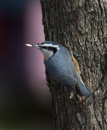 Red-Breasted Nuthatch by Douglas Graham