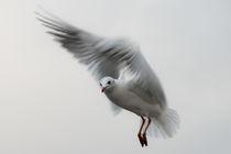 Möwe im Flug by Michael Schickert