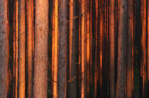 Sunset pines by Mati  Kose