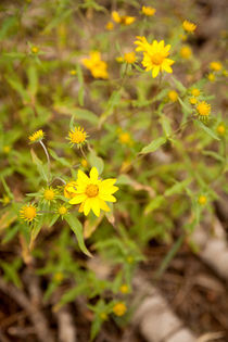 Pretty yellow flowers - Northstar-at-Tahoe, California von Jess Gibbs