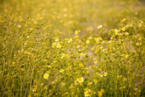 A field of yellow flowers - Northstar-at-Tahoe, California