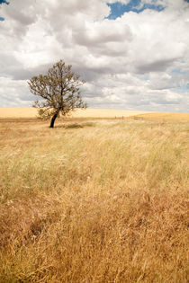 Lone tree in the dry grass - Wyperfeld, Australia by Jess Gibbs