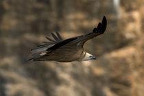 Griffon Vulture soaring 1 by Simon Littlejohn