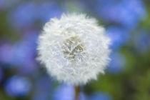 Dandelion von Pete Saloutos