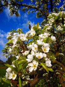 Birnenblüte by Erik Mugira