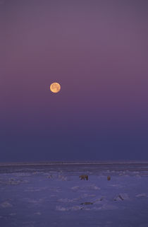 FULL MOON OVER POLAR BEARS by Wolfgang Kaehler