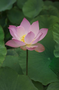 LOTUS FLOWER by Wolfgang Kaehler