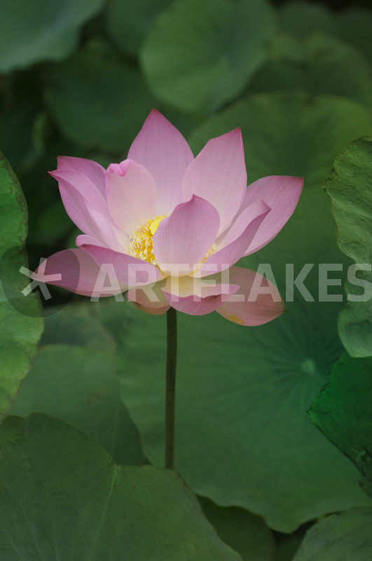 Lotus flower photography art prints and posters by wolfgang kaehler 30086917 mightylinksfo