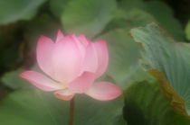 DIFFUSED LOTUS FLOWER by Wolfgang Kaehler