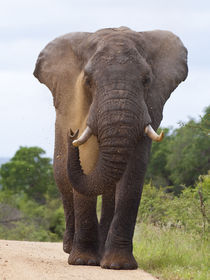 Male African elephant blowing sand over its face