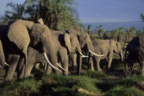 AMBOSELI NATIONAL PARK, ELEPHANTS by Wolfgang Kaehler