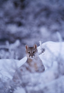 Wild Puma cub by Simon Littlejohn
