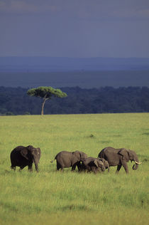Elephants in Masai Mara by Wolfgang Kaehler