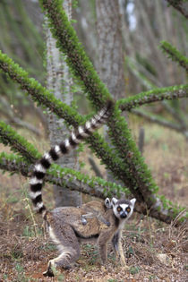 RING-TAILED LEMUR WITH BABY by Wolfgang Kaehler