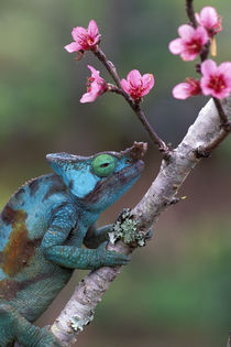 CHAMELEON AND PEACH FLOWERS by Wolfgang Kaehler