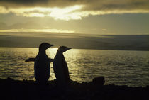 Chinstrap Penguins in Sunset by Wolfgang Kaehler