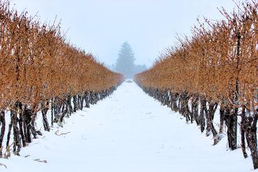 Niagara-on-the-lake-winter-vineyard-4