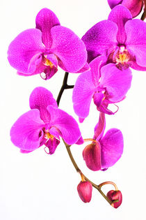 Orchid Beauty by Ian C Whitworth