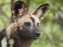 African wild dog (endangered) with intense stare von Yolande  van Niekerk