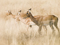 Impala females in golden grass by Yolande  van Niekerk