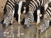 Zebras drinking close-up in repetition