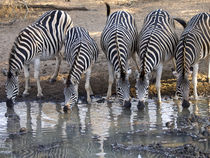 Zebras-drinking-together
