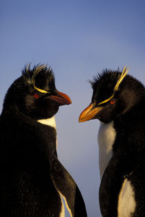 Rockhopper Penguins by Wolfgang Kaehler