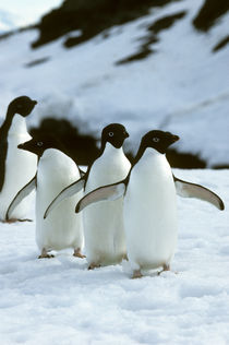 Adelie Penguins by Wolfgang Kaehler