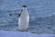 Chinstrap Penguin by Wolfgang Kaehler
