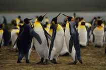 King Penguin Ballet by Wolfgang Kaehler