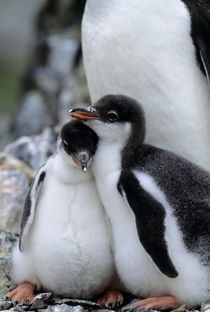 Gentoo Penguin Chicks by Wolfgang Kaehler