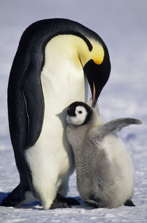 Emperor Penguin with Chick von Wolfgang Kaehler